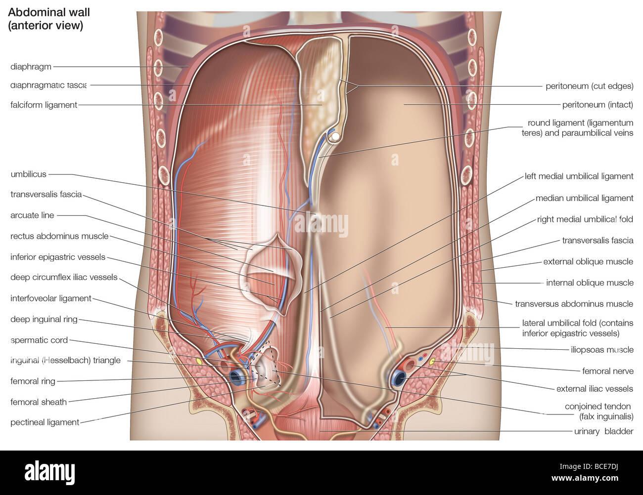 Ansicht von ventral der menschlichen Bauchhöhle Stockfoto, Bild ...