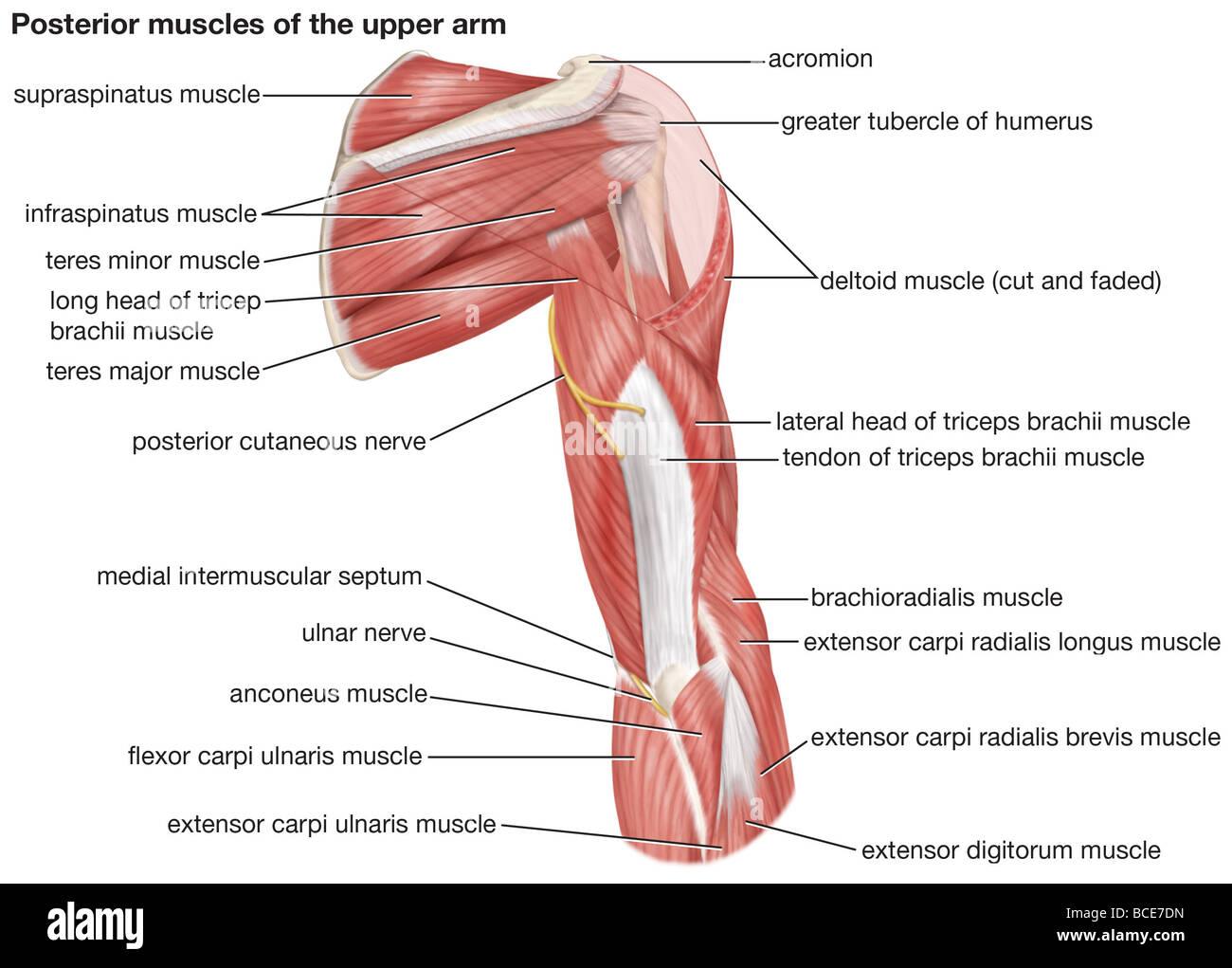 Ziemlich Muskeln Des Oberarms Fotos - Menschliche Anatomie Bilder ...