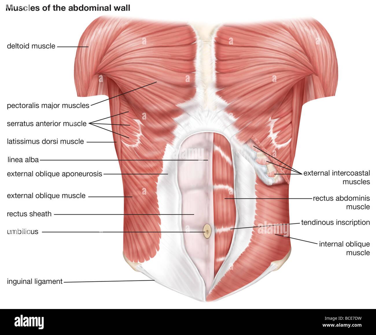 Die Muskeln des menschlichen Bauchdecke Stockfoto, Bild: 24899445 ...