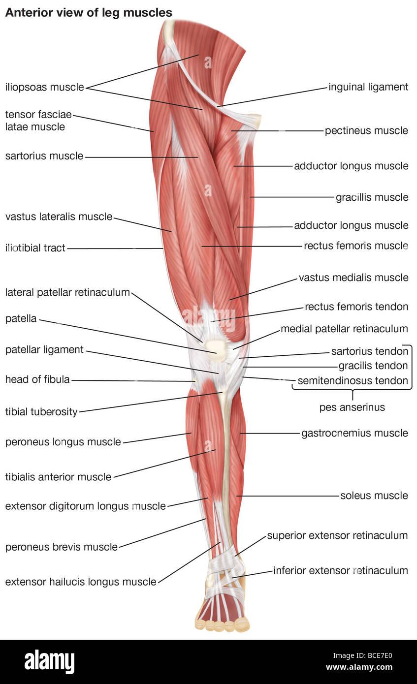 Gemütlich Muskeln Des Beins Anatomie Bilder - Menschliche Anatomie ...