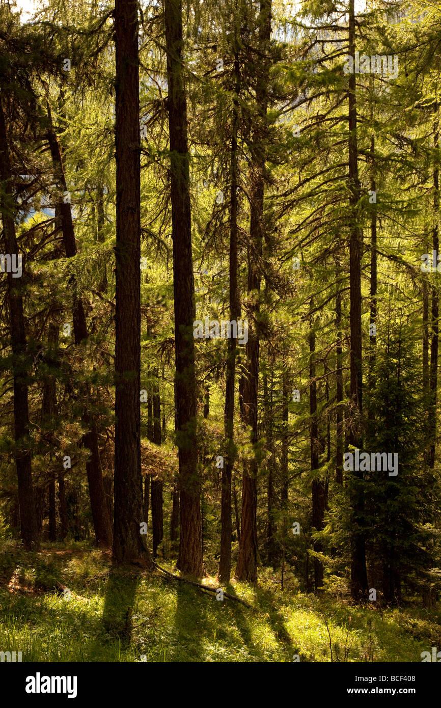 am Nachmittag Licht strömt durch Pinien Bäumen, Zermatt, Schweiz, Europa Stockbild