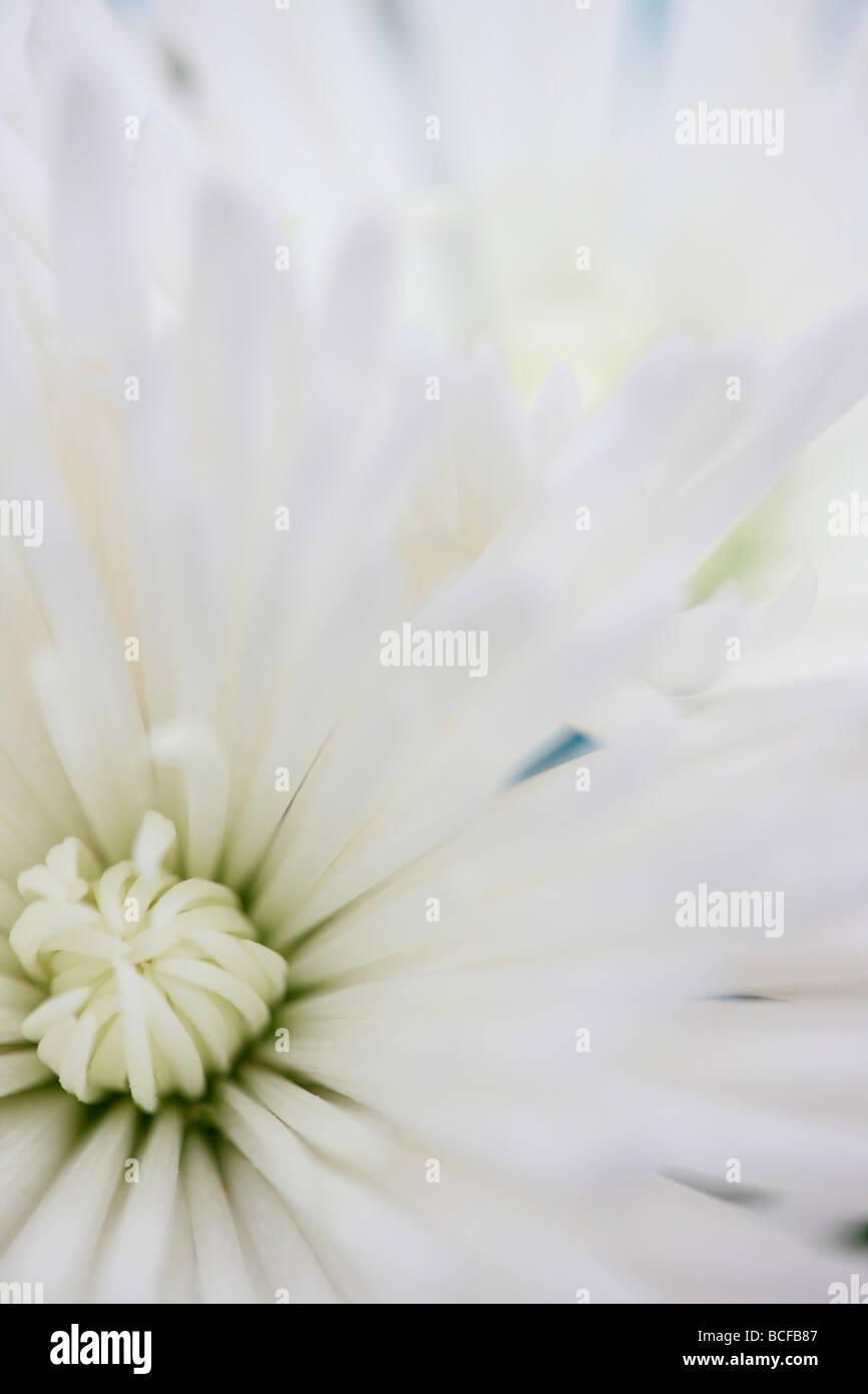 Full-Frame-Nahaufnahme von den weißen langen Blütenblättern Anastasia Chrysantheme Kunstfotografie Stockbild