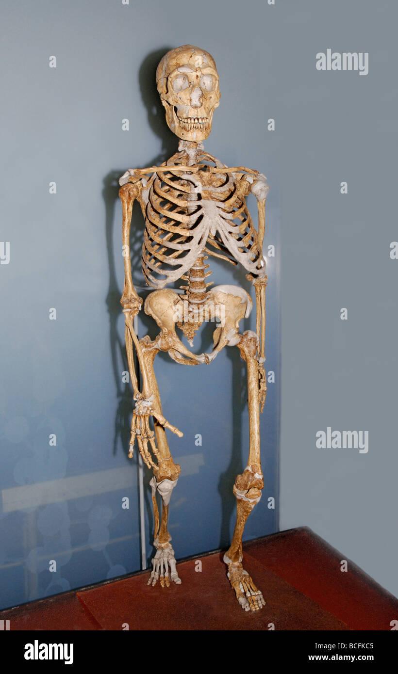 Skelett des Homo neanderthalensis Stockbild