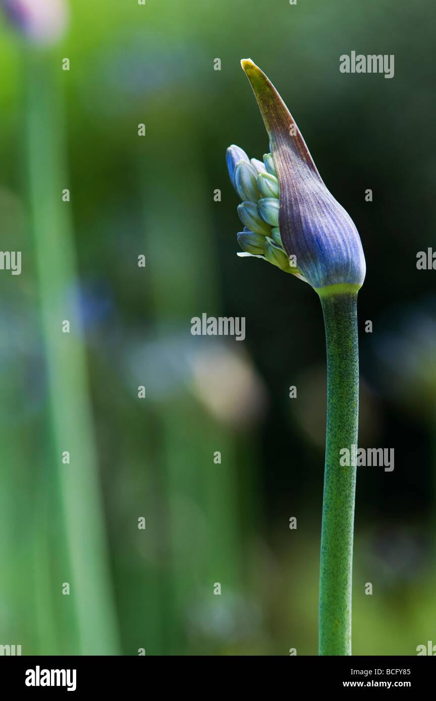 Agapanthus Blütenknospe Öffnung. Afrikanische Blaue Lilie Stockbild