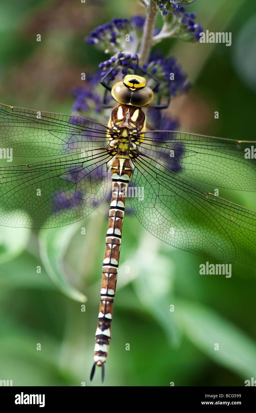 Aeshna Cyanea. Südlichen Hawker Libelle Stockbild