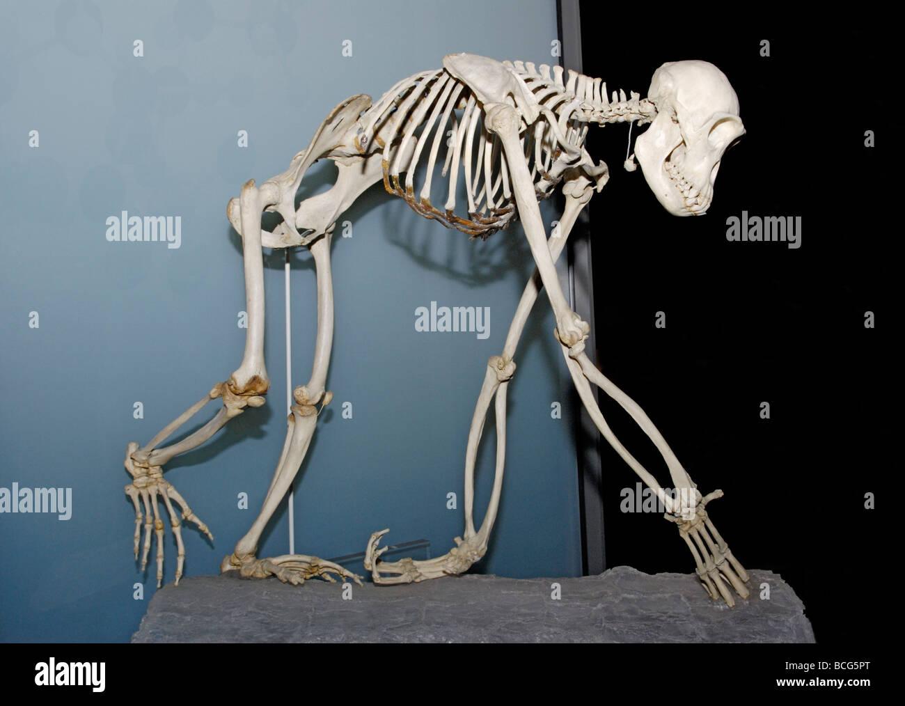 Skelett des gemeinsamen Schimpansen Pan troglodytes Stockbild