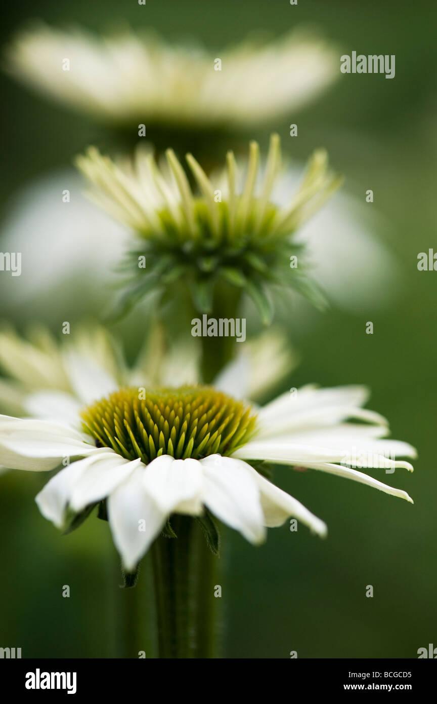 "Echinacea Purpurea ""Weißer Schwan"". Sonnenhut Stockbild"