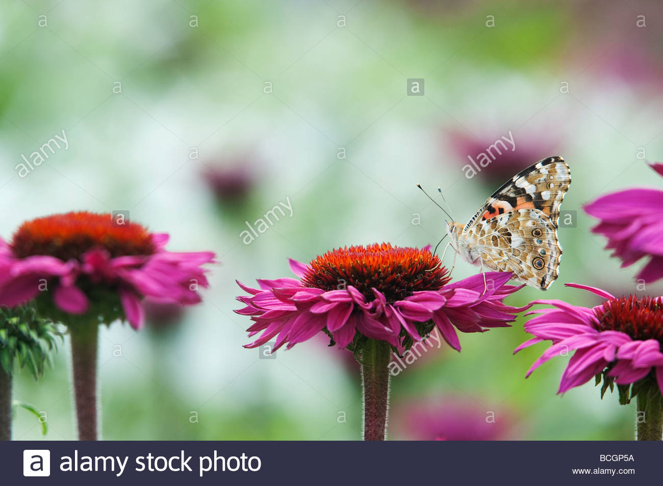 Vanessa cardui. Lady butterfly Fütterung auf Echinacea purpurea Blumen in einem englischen Garten gemalt Stockbild