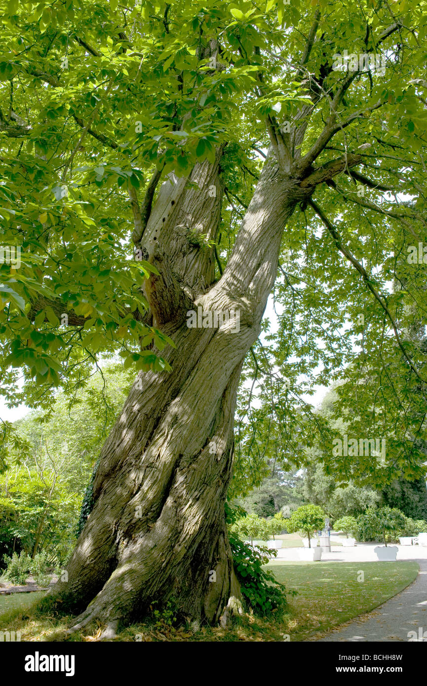 Castanea sativa sweet spanish chestnut stockfotos castanea sativa sweet spanish chestnut - Baum auf spanisch ...