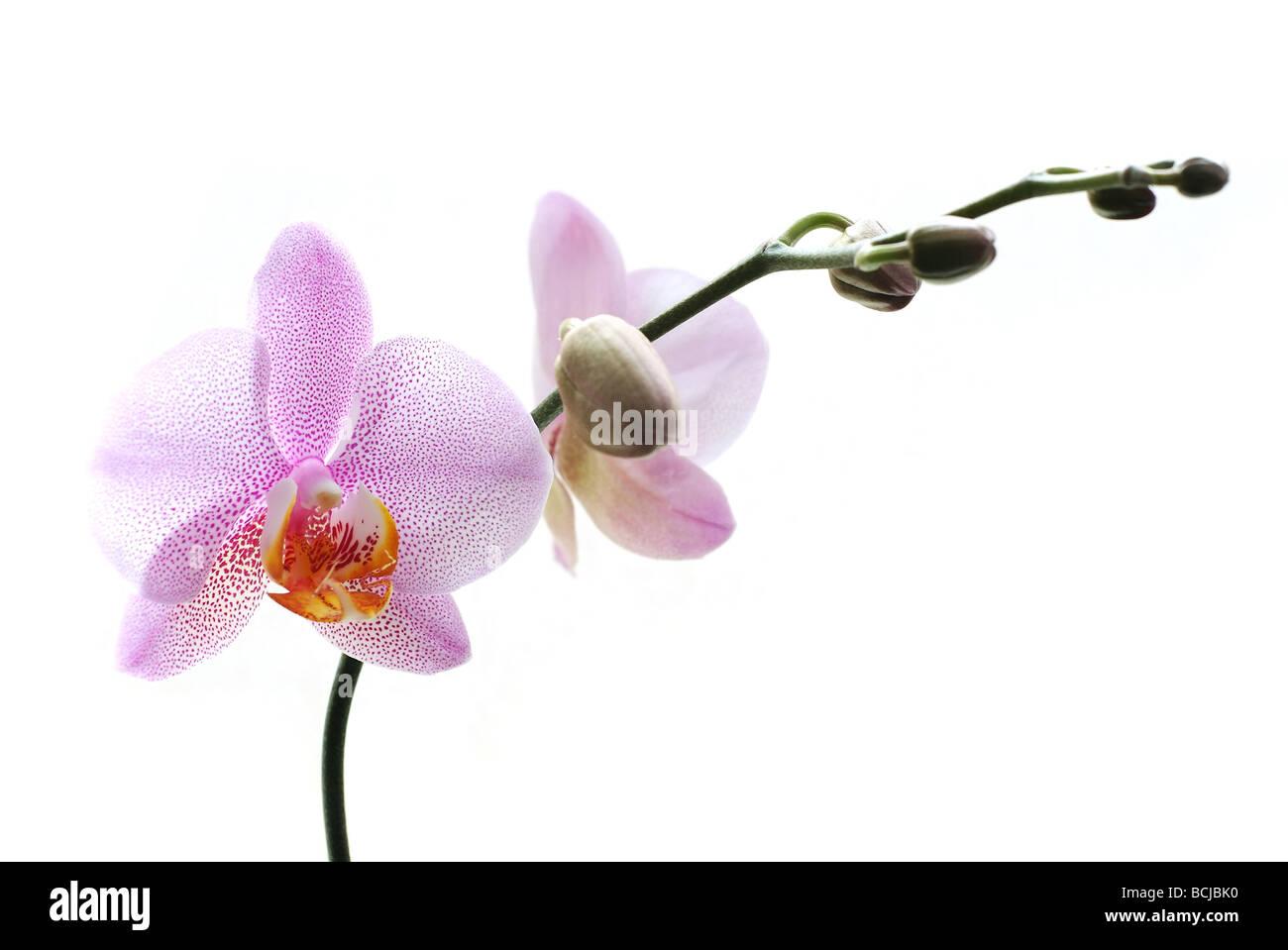 Rosa Phalaenopsis-Orchideen isoliert auf weißem Hintergrund Stockbild
