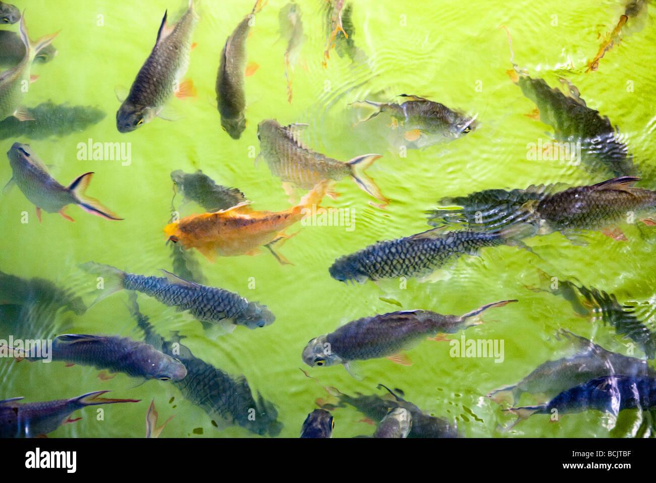 Fische in einem teich schwimmen stockfoto bild 25000515 for Fische in teich