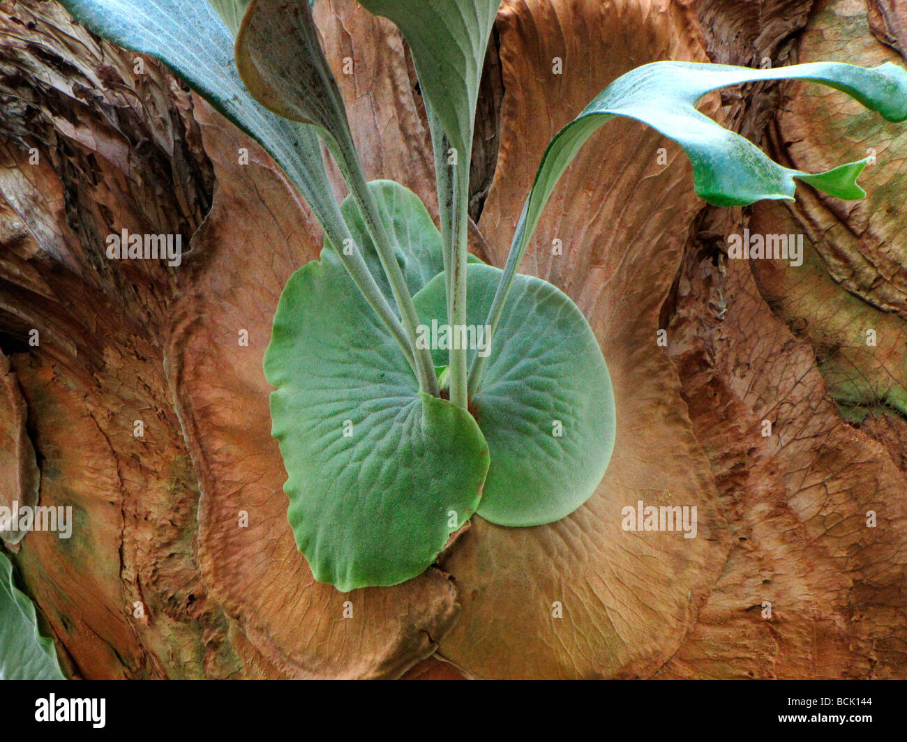Farn Platycerium stemaria Stockbild