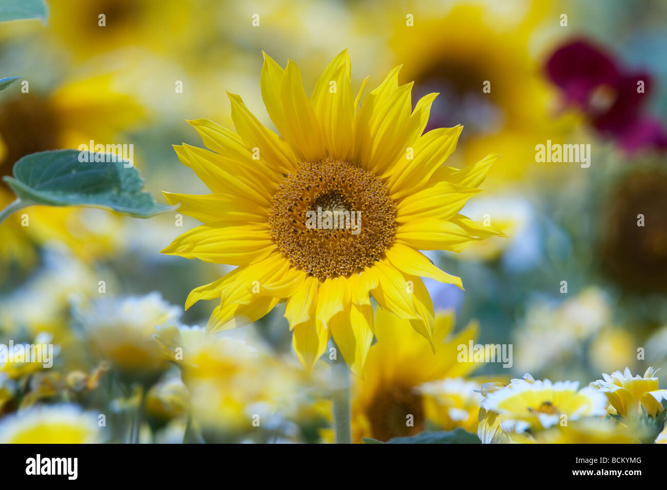 Sonnenblumen und Wildblumen in einen englischen Garten. England Stockbild