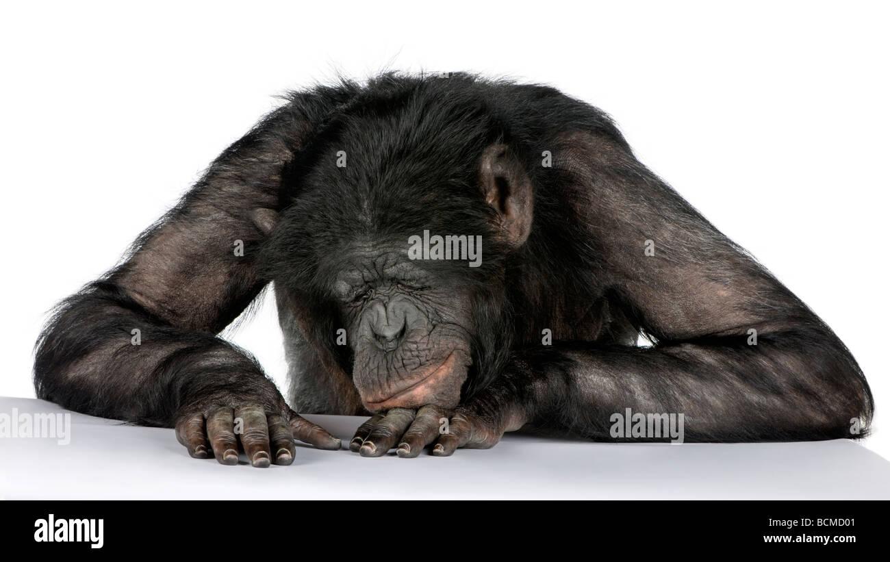 Affe auf seinem Schreibtisch, Mischling zwischen Schimpanse und Bonobo, 20 Jahre alt, vor einem weißen Hintergrund Stockbild