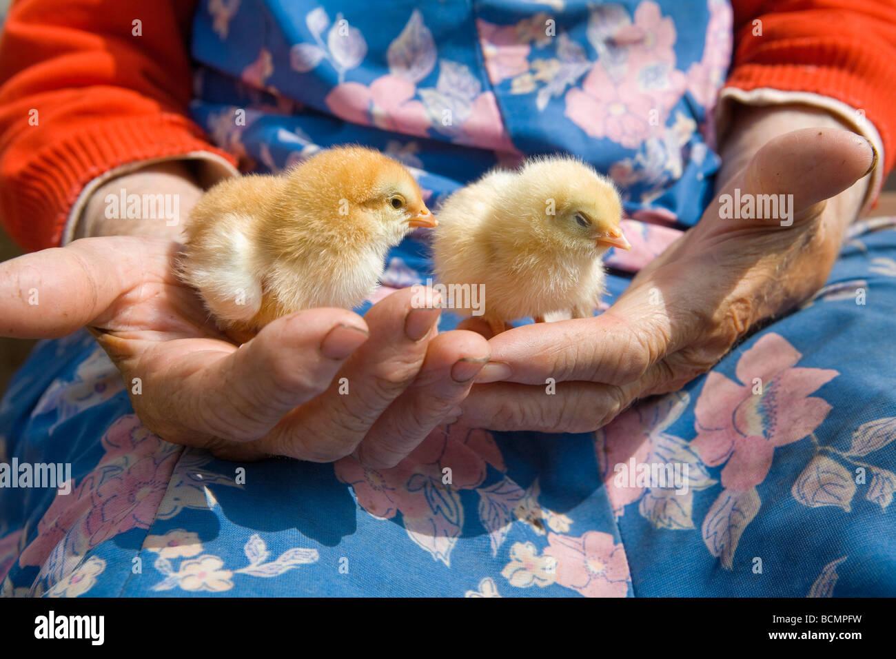 alte Bäuerin Huhn in ihren faltigen Händen hält Stockfoto