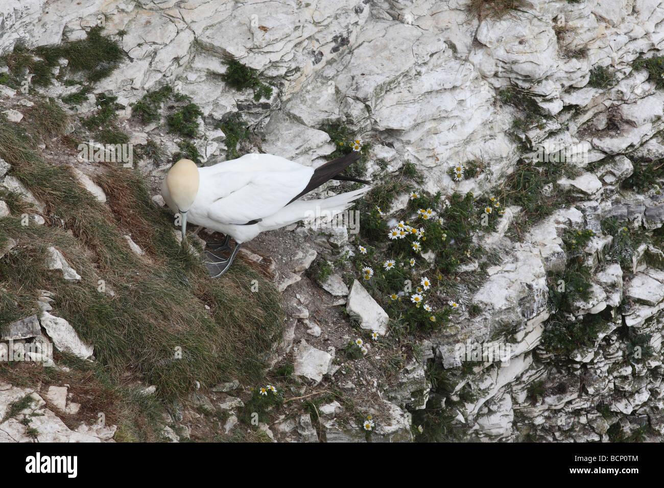 Gannet Sulu Bassana sammeln Nistmaterial Stockbild