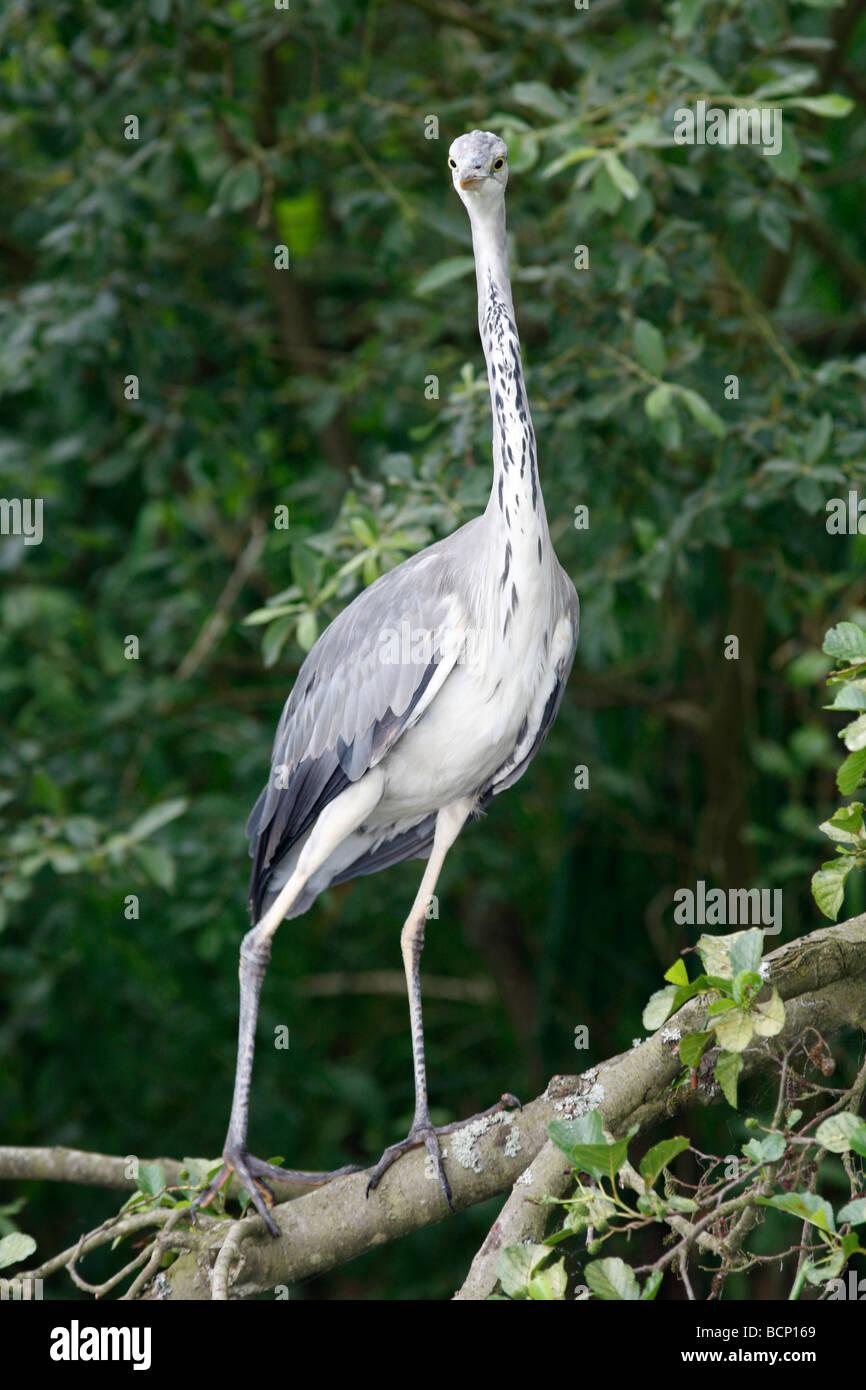 Heron Ardea Cinerea hocken auf Ast Stockbild