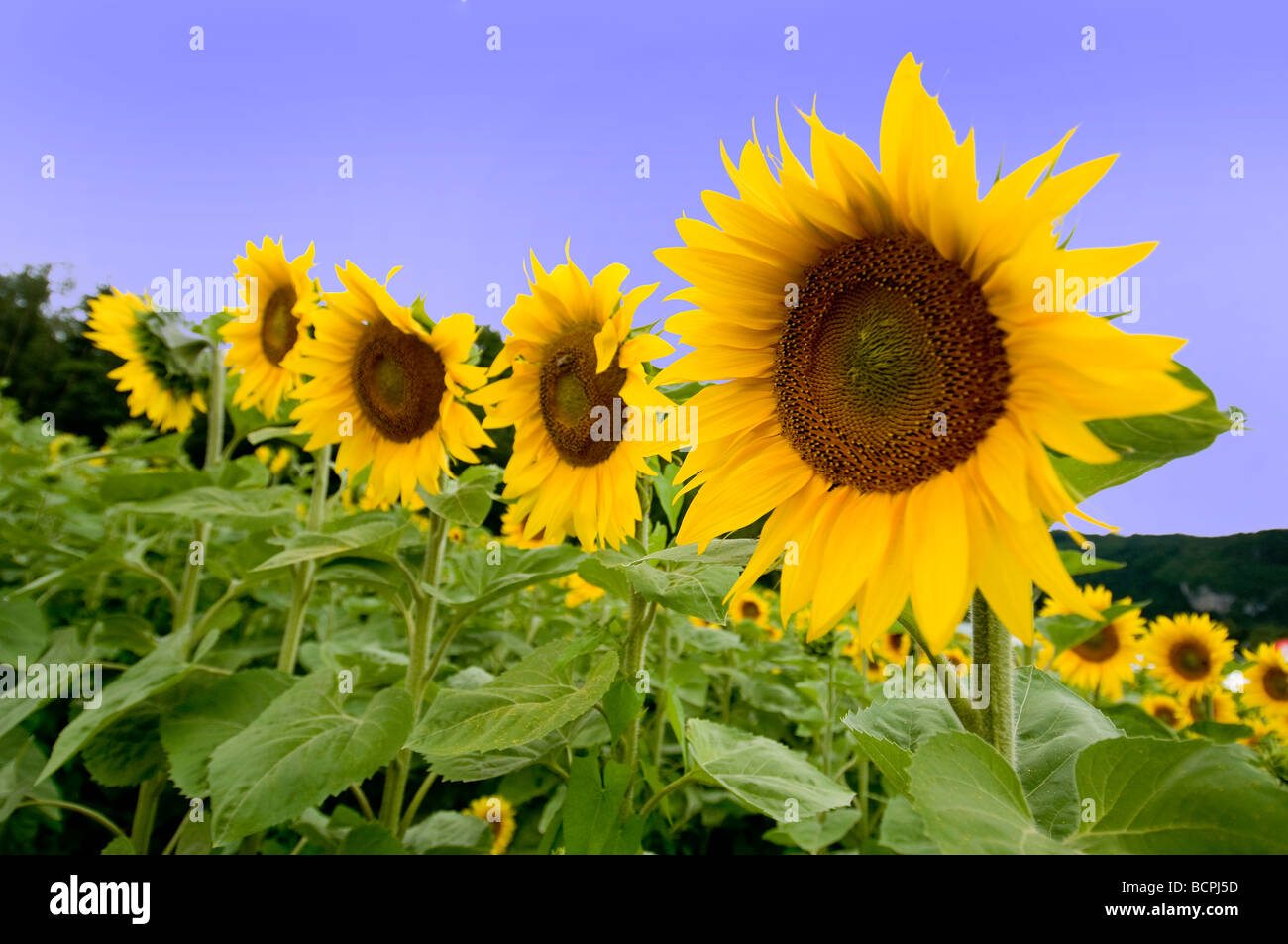 sunflowers stockfotos sunflowers bilder alamy. Black Bedroom Furniture Sets. Home Design Ideas