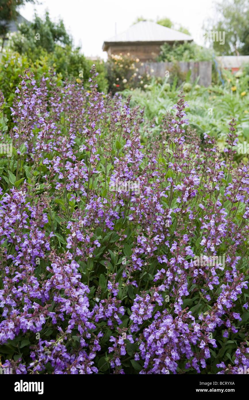 Blaue Blume Salbei Salvia Officinalis Kraut Essbare Pflanze In Amy