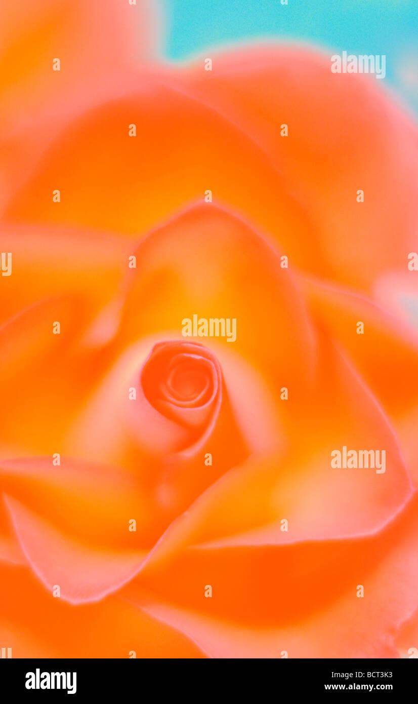Nahaufnahme von rose voller Farbe Kunstfotografie Jane Ann Butler Fotografie JABP350 Stockbild