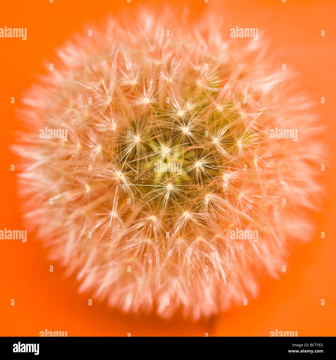 Details zu einem Löwenzahn (Taraxacum Officinale) Stockbild