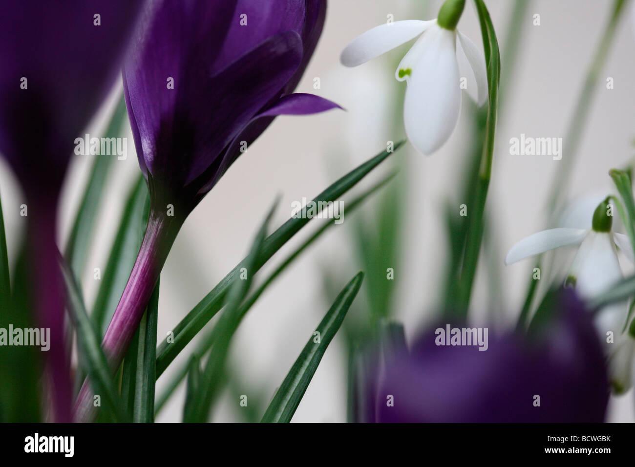 Sammlung von Schneeglöckchen und Krokusse traditionell der erste Frühling blühende Zwiebeln bildende Stockbild