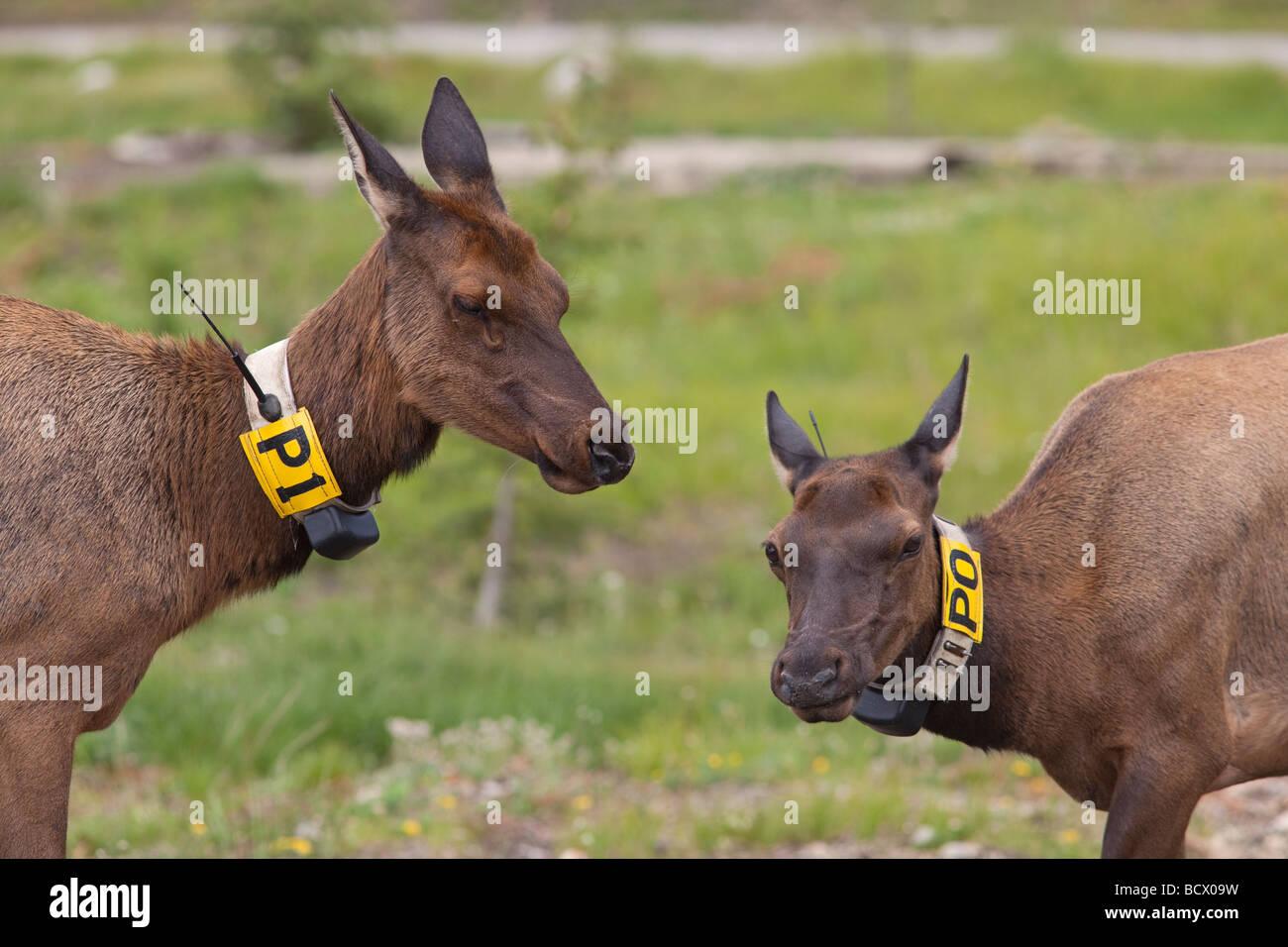 Rocky Mountain Nationalpark Colorado zwei Radio Kragen Elchkühe Stockbild