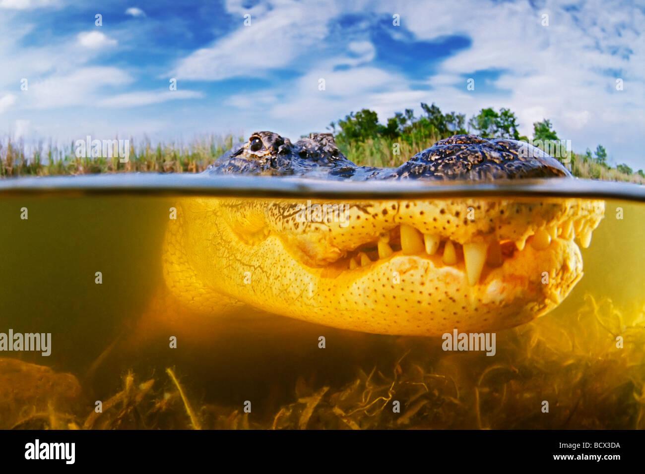 Amerikanischer Alligator Alligator Mississipiensis Everglades Nationalpark Florida USA Stockbild