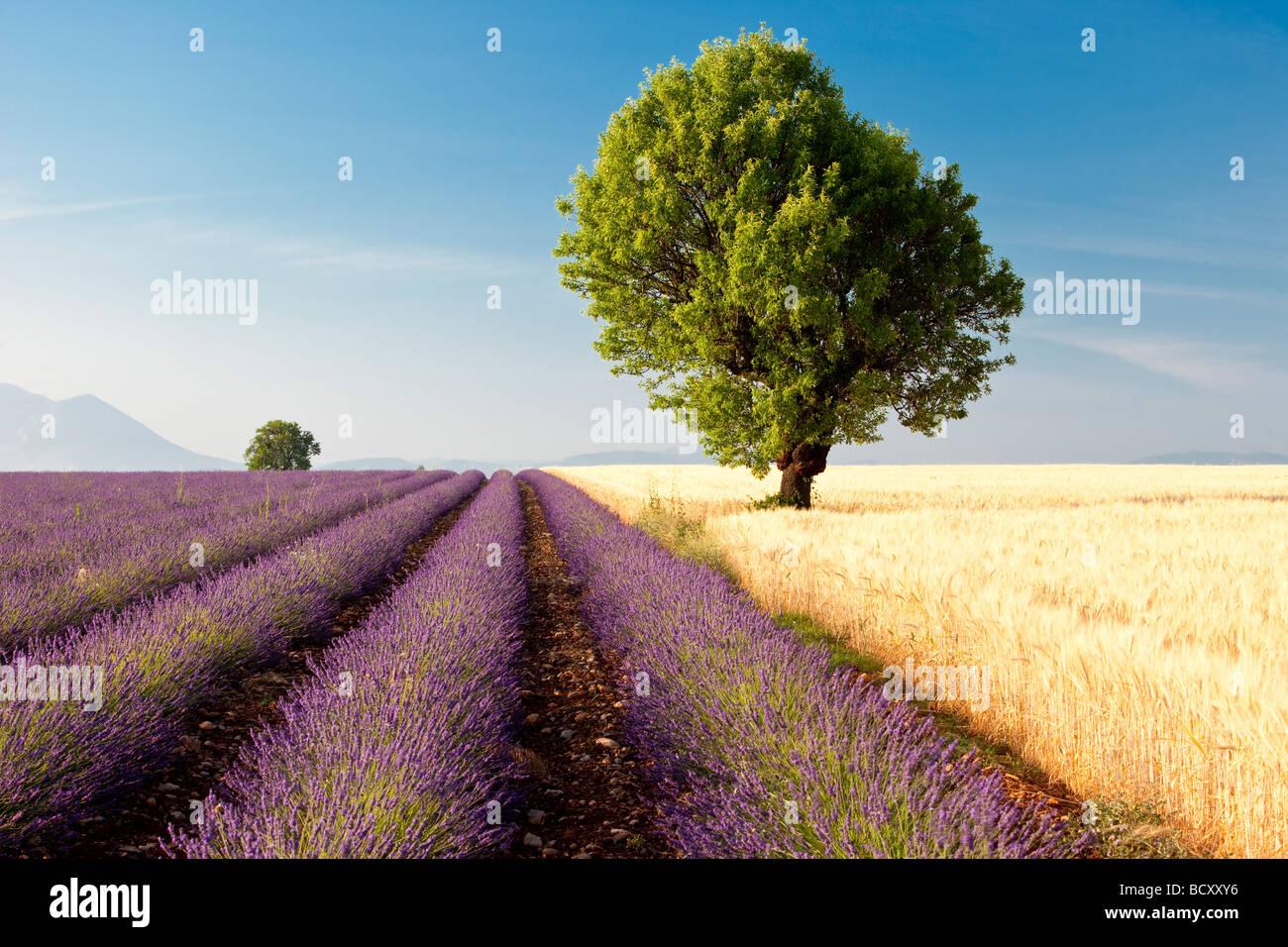 Lavendel-Feld in der Nähe von Valensole Frankreich Stockbild