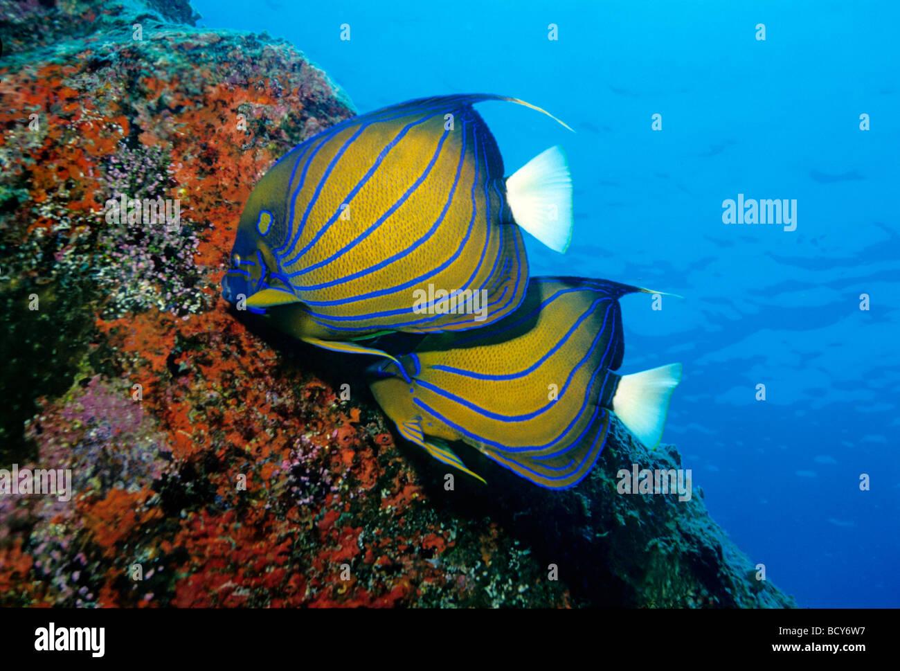 Bluering Kaiserfisch (Pomacanthus Annularis) Essen rote Pilze, Similan Islands, Andamanensee, Thailand, Asien, Indischer Stockbild