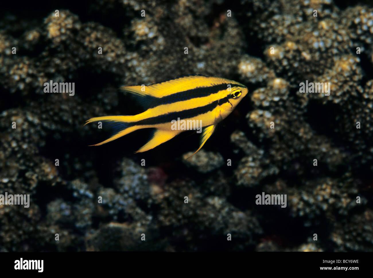 Riffbarsche (Neoglyphidodon Xanthurus), Jugend, Schwimmen über Korallenstein, Similan Inseln, Thailand, Andamanen Stockbild