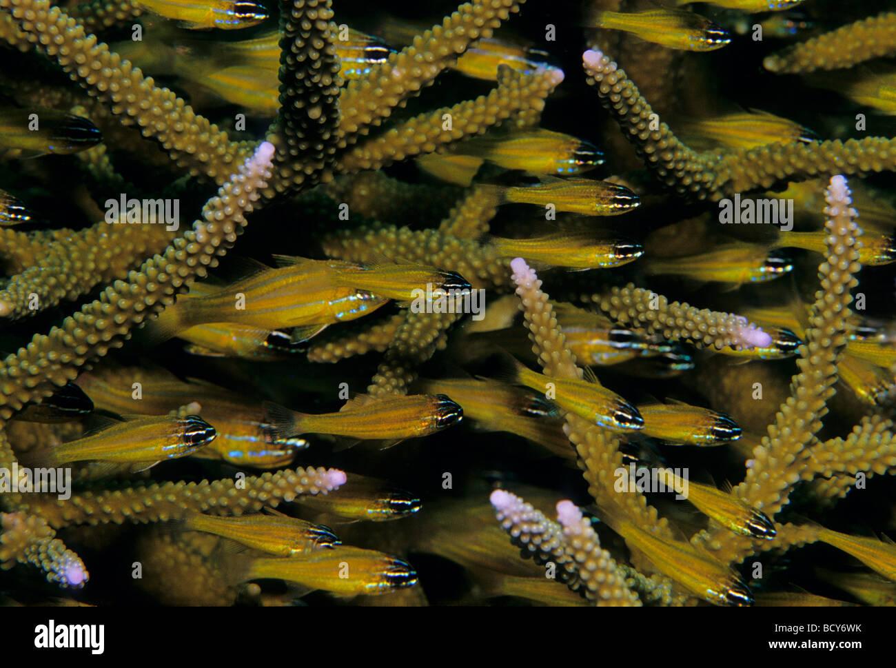 Kattas Kardinalbarschen (Apogon Aureus) zwischen Koralle Steinen, Similan Islands, Andamanensee, Thailand, Asien, Stockbild