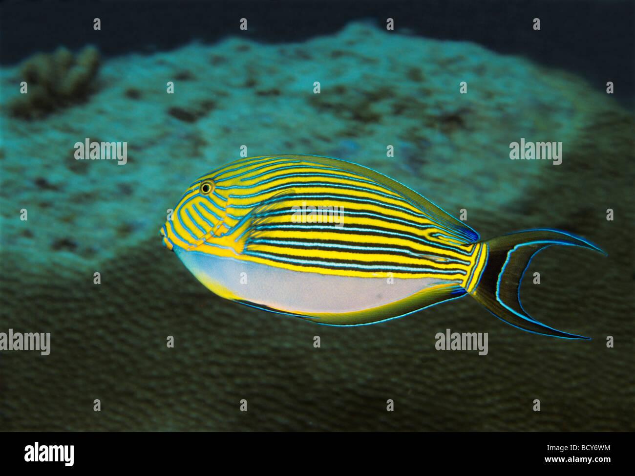 Blau-gesäumt Doktorfisch, (Acanthurus Lneatus) über Korallenriff schwimmen, Fisch, Similan Islands, Andamanensee, Stockbild