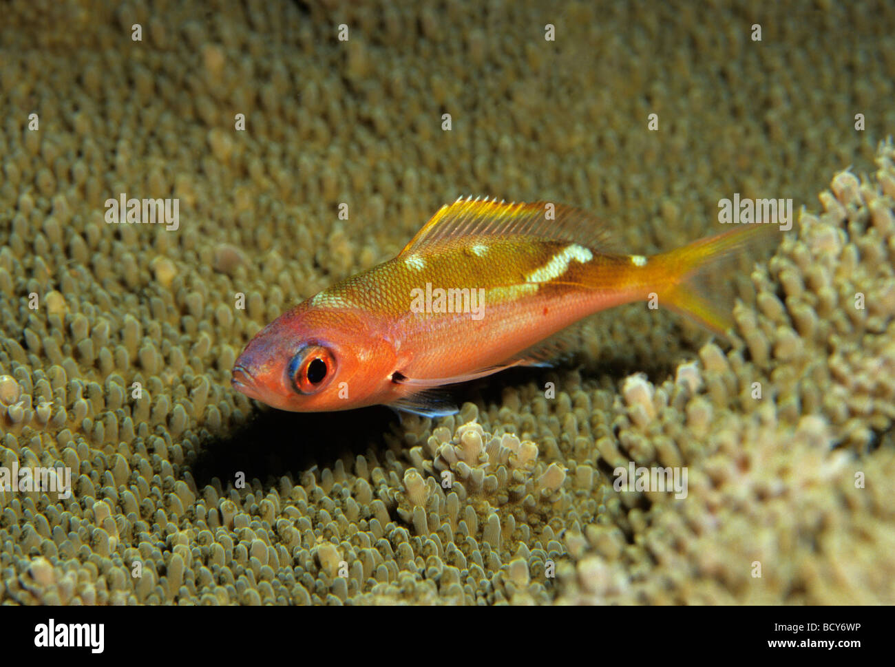 Yellowback Füsilier (Caesio Xanthonodus), Nachtfarben über Korallen, Similan Inseln, Andamanensee, Thailand, Stockbild