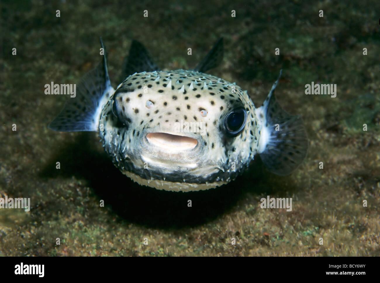 Spot-Fin Igelfischen (Diodon Hystrix), frontal, Similan Islands, Andamanensee, Thailand, Asien, Indischer Ozean Stockbild