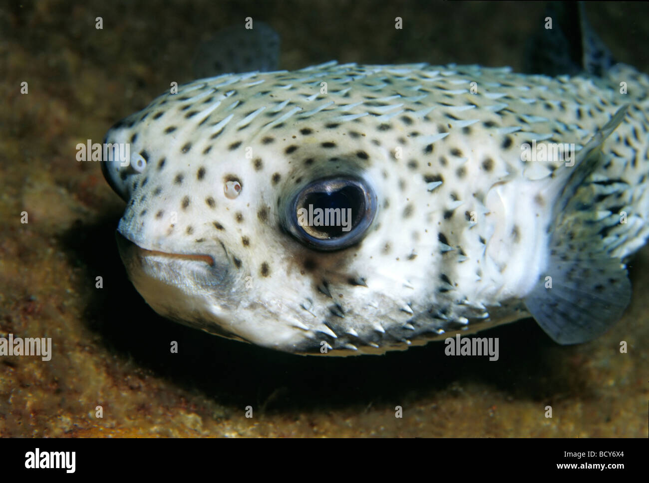 Spot-Fin Igelfischen (Diodon Hystrix), Fisch, Porträt, Similan Islands, Andamanensee, Thailand, Asien, Indischer Stockbild