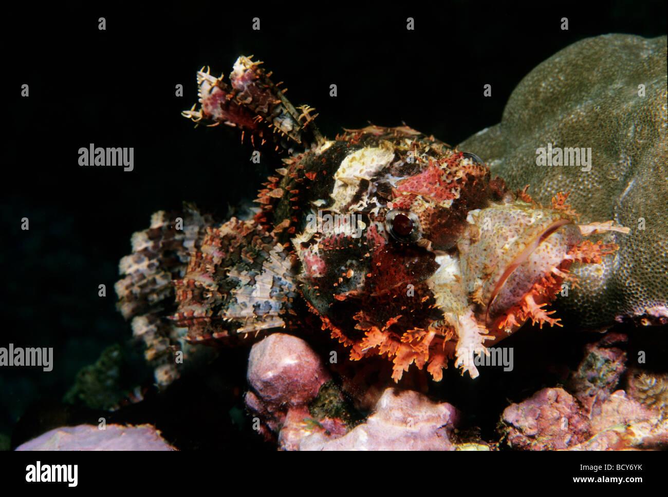 Bärtige Drachenköpfe (Scorpaenopsis) getarnt in einem Korallenriff, giftige, gefährliche, Similan Stockbild