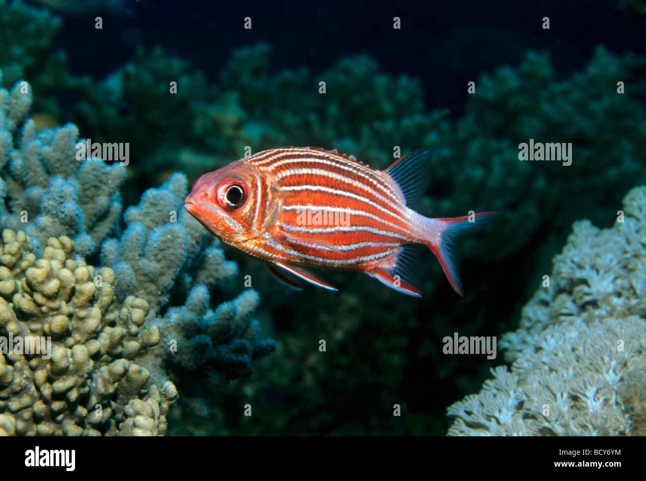 Gekrönt Squirrelfish (Sargocentron Diadema) schwimmen über Korallenriff, Similan Islands, Andamanensee, Stockbild