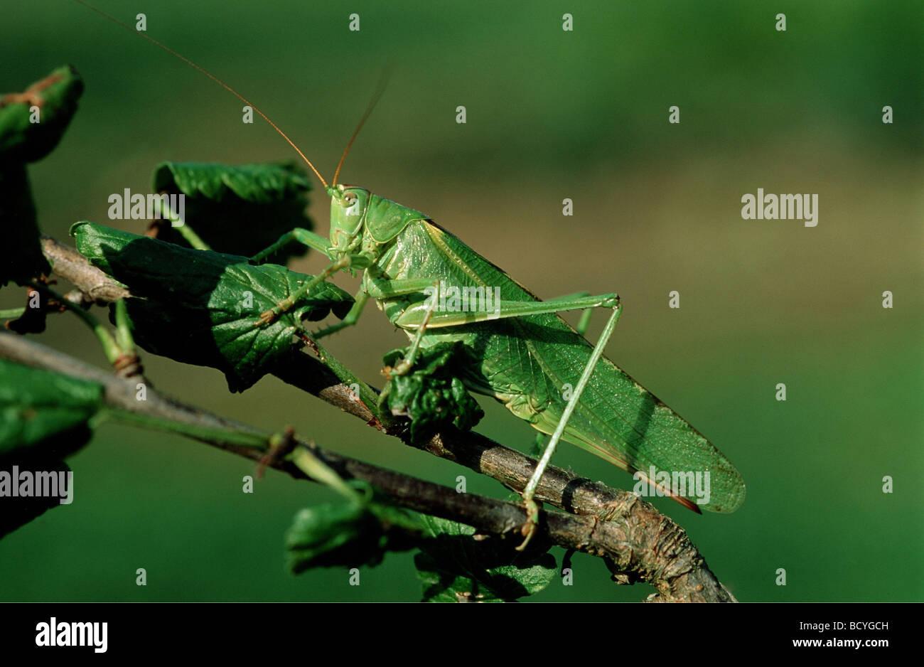Große grüne Bushcricket auf Blatt / Tettigonia Viridissima Stockbild