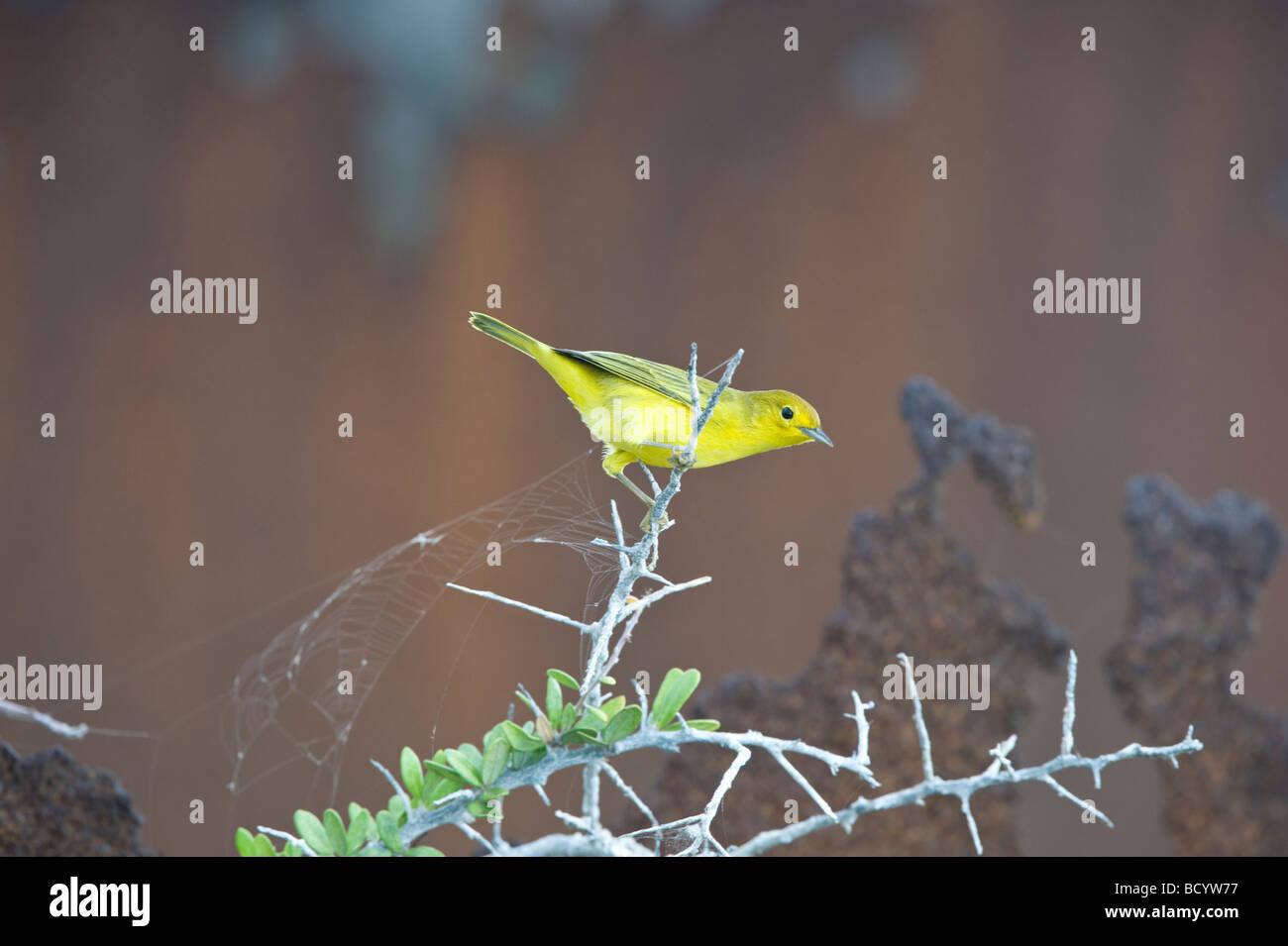 Schnäpperrohrsänger (Dendroica Petechia Aureola) Barsch auf Bush auf Vorderseite des rostigen Eisen drum Stockbild