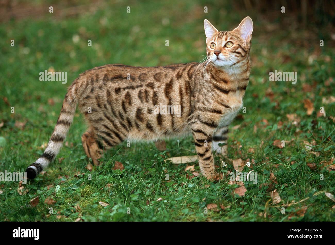 leopard cat felis bengalensis stockfotos leopard cat felis bengalensis bilder alamy. Black Bedroom Furniture Sets. Home Design Ideas