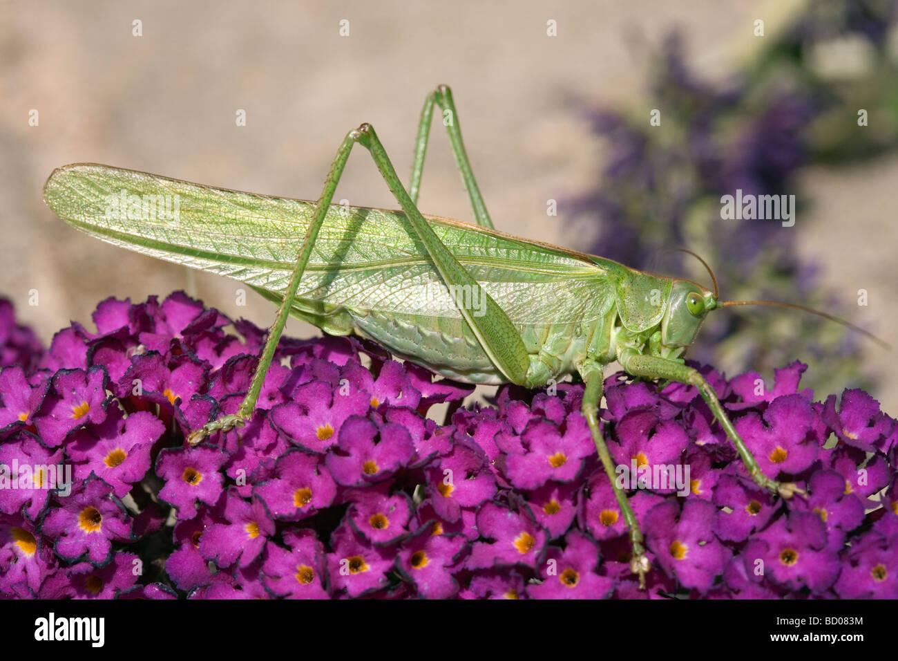 Große grüne Bush Cricket - Tettigonia viridissima Stockbild