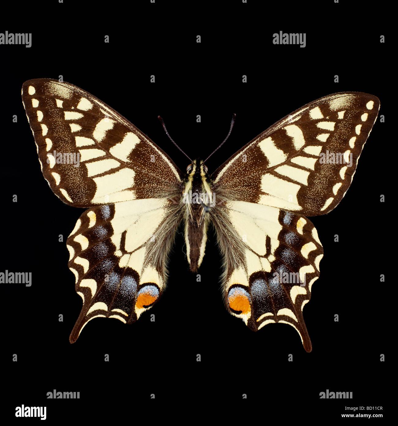 Schmetterling schwarzer hintergrund