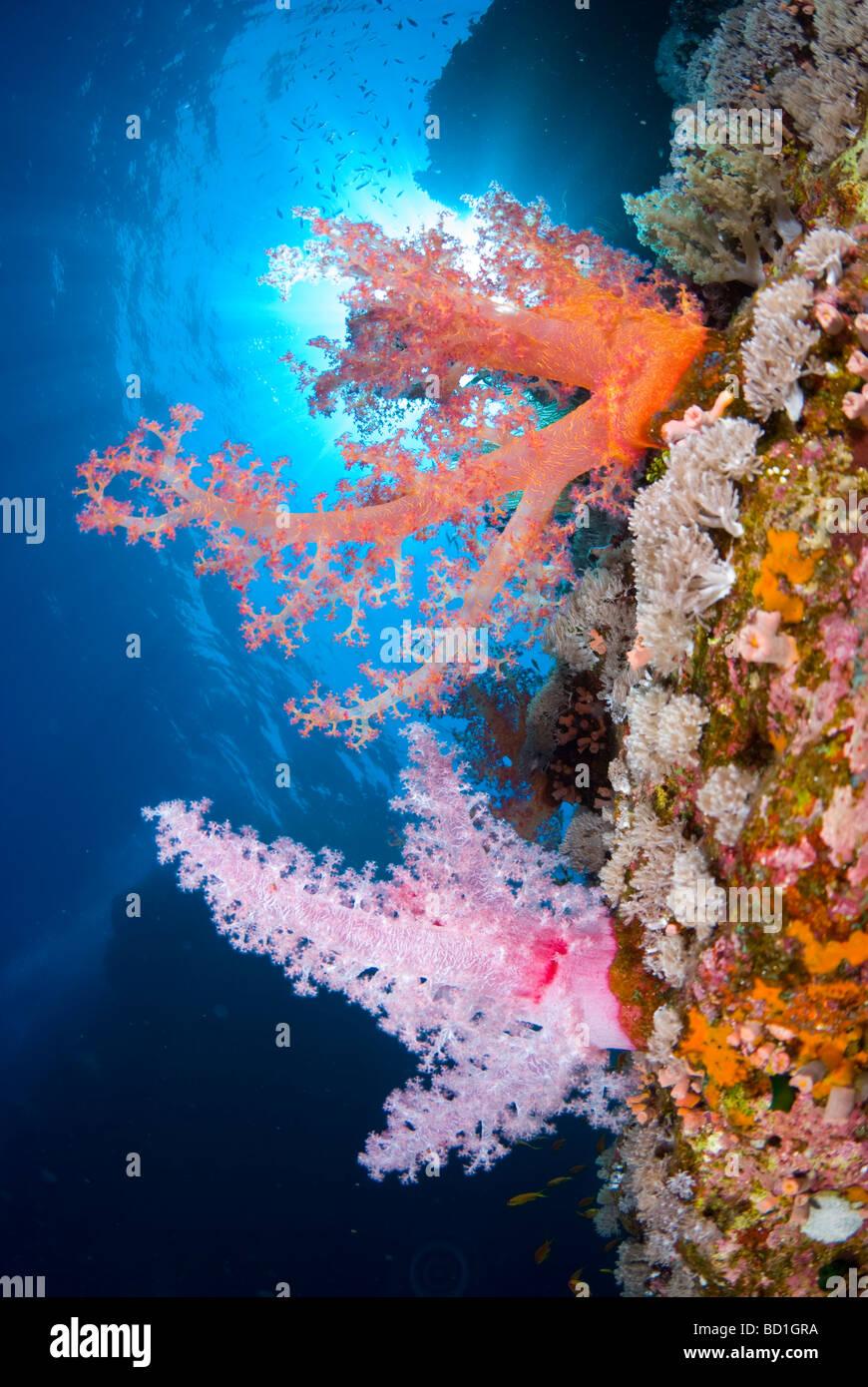 Bunte Korallenriff Szene mit violetten und roten Weichkorallen. Safaga, Rotes Meer Stockbild
