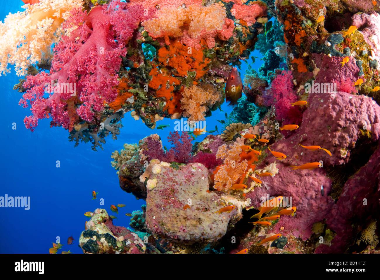 Bunte Korallenriff Szene mit lila Weichkorallen und verschiedene tropische Fische. Safaga, Rotes Meer Stockbild