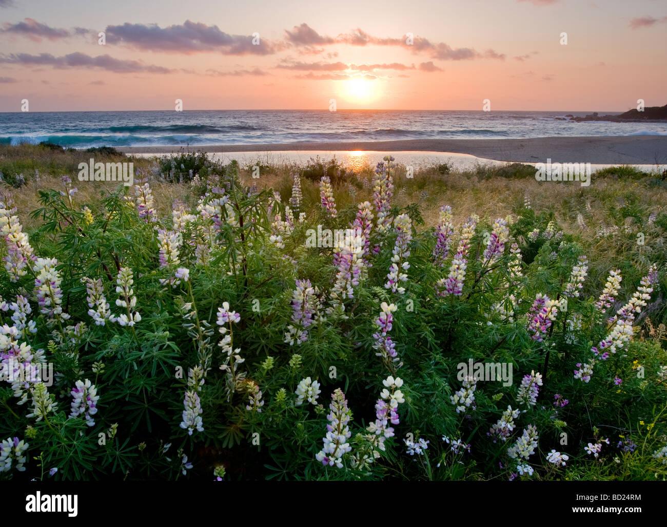 Busch lupine Blumen entlang Carmel River State Beach bei Sonnenuntergang. Stockbild