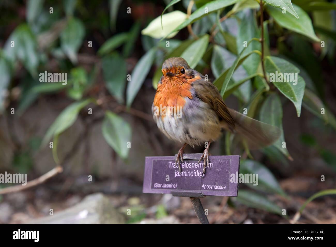 Robin Erithacus Rubecula Auf Einem Etikett Für Jasmin Garten Trebah