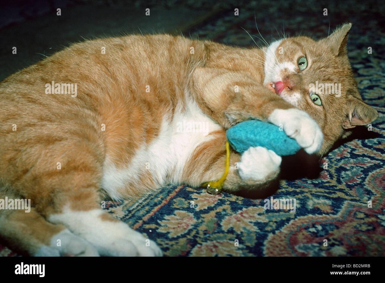 Ingwer-Katze mit einem Spielzeug spielen Stockfoto