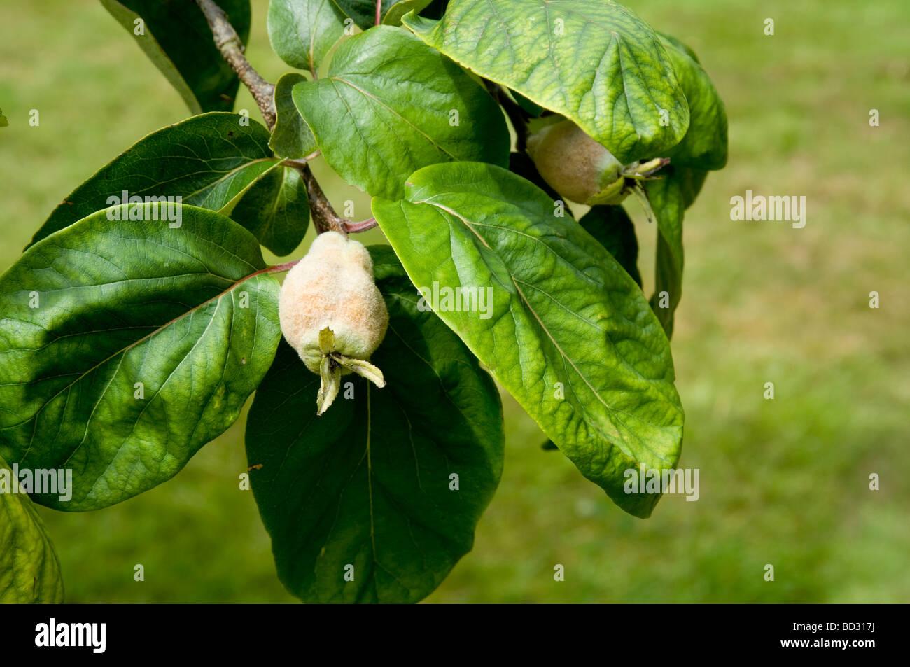 Baum Quitte - Cydonia Oblonga, mit der Entwicklung von unreifen Frucht, sind charakterisiert durch eine temporäre Stockbild