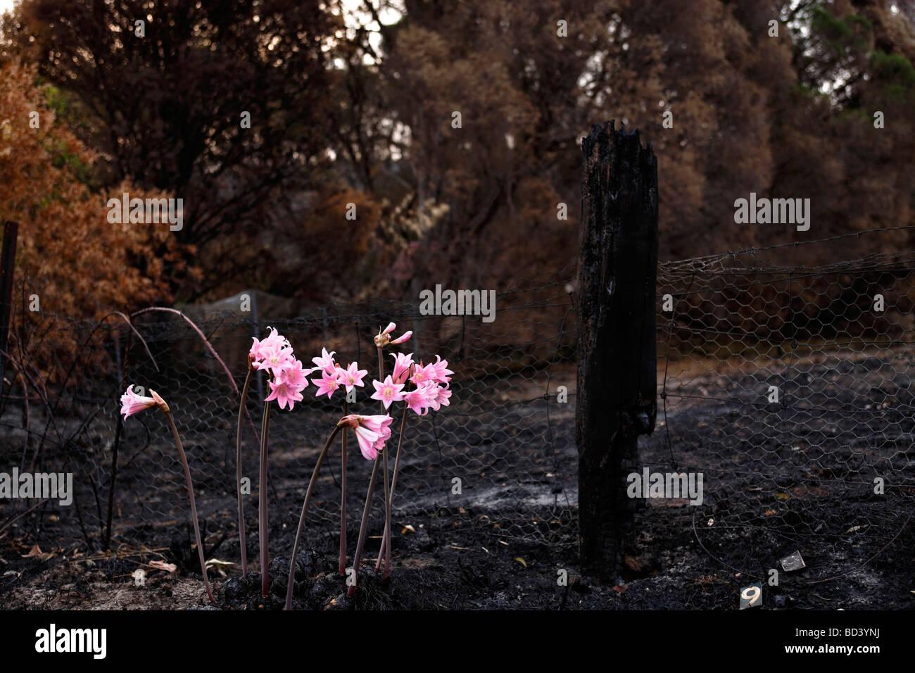 Rosa Lilien in verbrannte Landschaft vom viktorianischen schwarzen Busch Samstag Brände in Australien Steels Stockbild